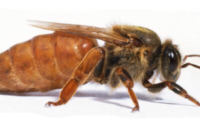 Re-Queening Hives